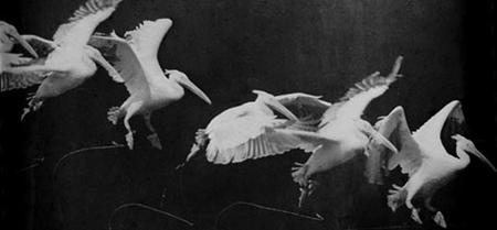 Marey's Pelican
